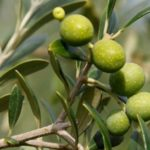Olives Don't Grow On The Tree With A Pimento
