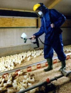 Chicken spraying