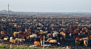cattle-feedlot-002