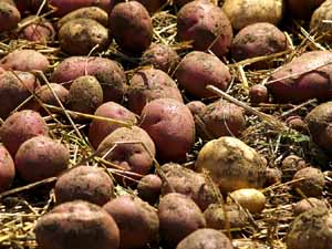 crop rotation potatoes