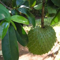 Soursop – Cure for Cancer?